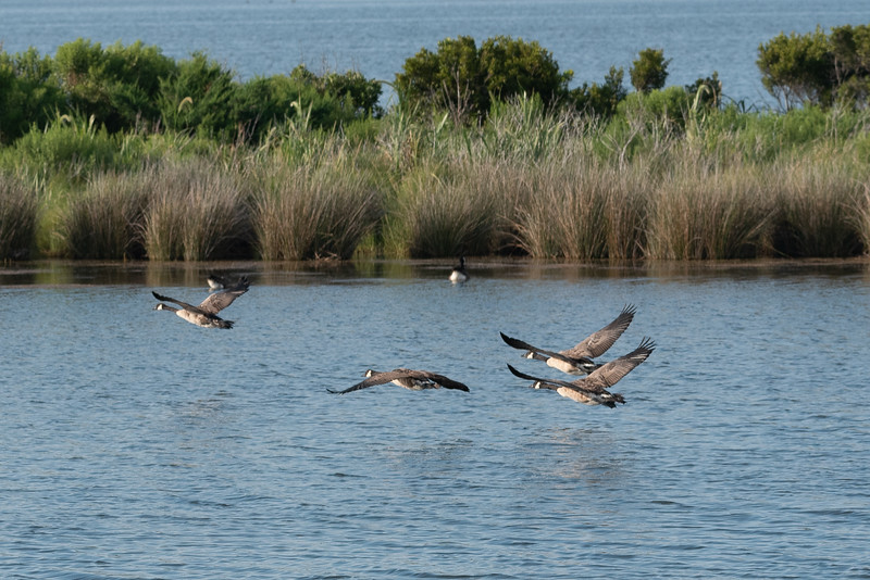 The Gaggle Flying Out to the Pamlico