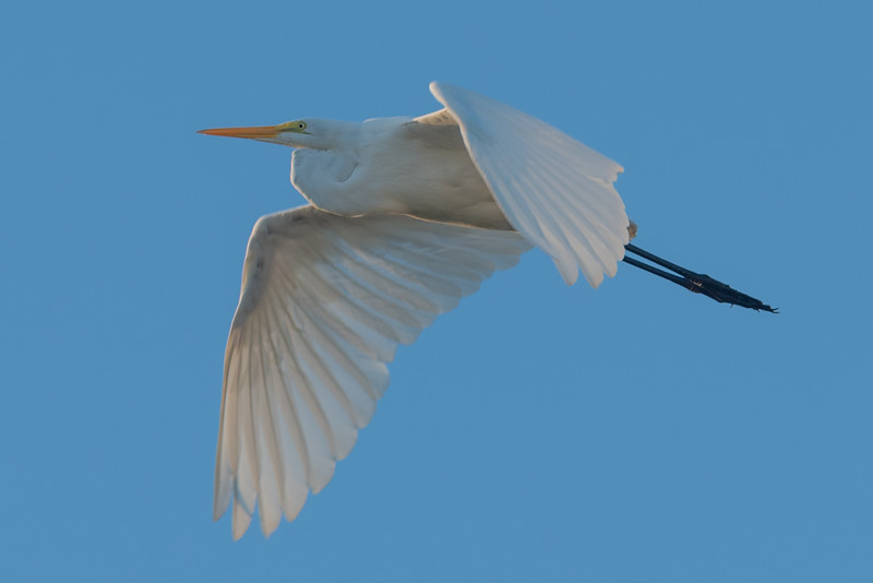 The Great Egret of Ocracoke Island