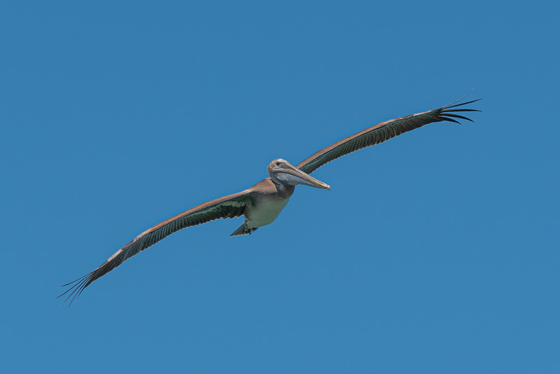 Pelican in the Breeze