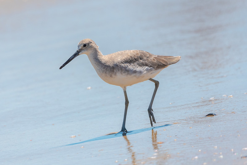 A Walking Willet