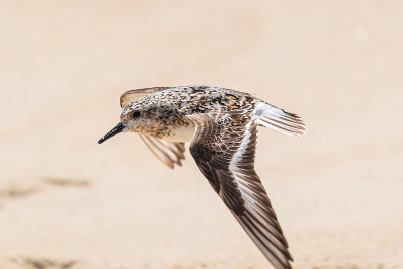 Sandpiper Taking Flight