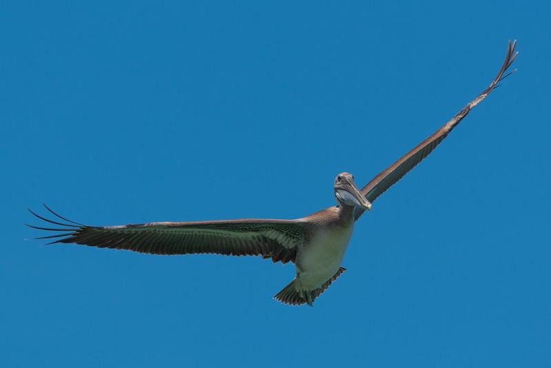 Pelicans Above