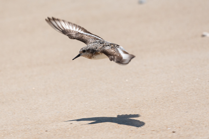 Flight of the Sandpiper