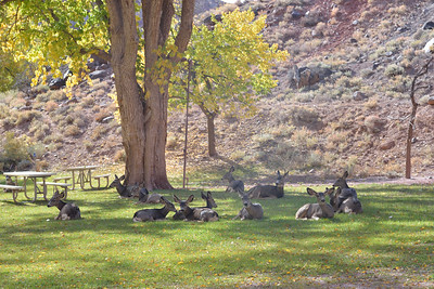 Mule Deer near picnic area