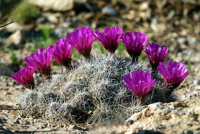 BloomingCactus-pink-CCNP
