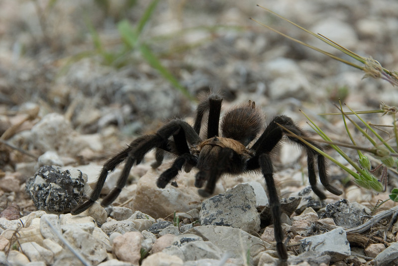 This Tarantula was walking near our car in the parking lot when we came out of the Caverns.  He tried to avoid his picture being taken but his threats didn't scare me.