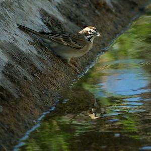Lark Sparrow Rattlesnake Springs