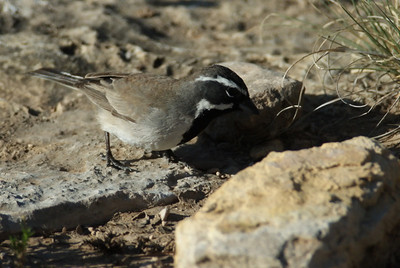 Black-throated Sparrow Carlsbad Caverns National Park