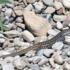 Colorado Checkered Whiptail
