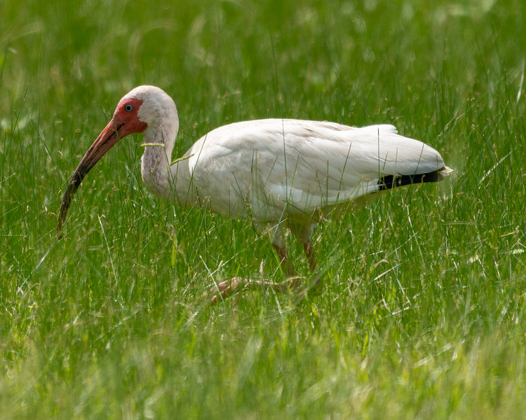 Ibis in the Field