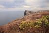 Cavern Point.  Island buckwheat, coyote brush (Baccharis pilularis)