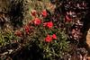 Indian pink (Silene laciniata)  at Harris Point.
