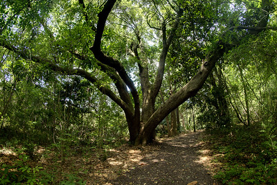 A large tree provides ample shade along a nature trail at the Charles Pinckney National Historic Site in Mt. Pleasant, SC on Monday, July 7, 2014. Copyright 2014 Jason Barnette