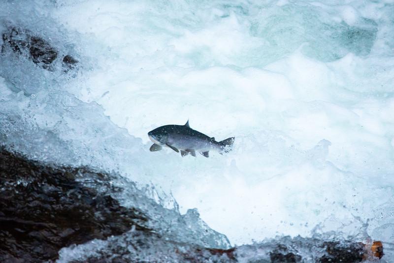 Silver Salmon Surfer