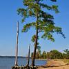 A lone pine