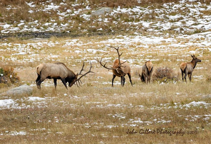Sparring Elk #3
