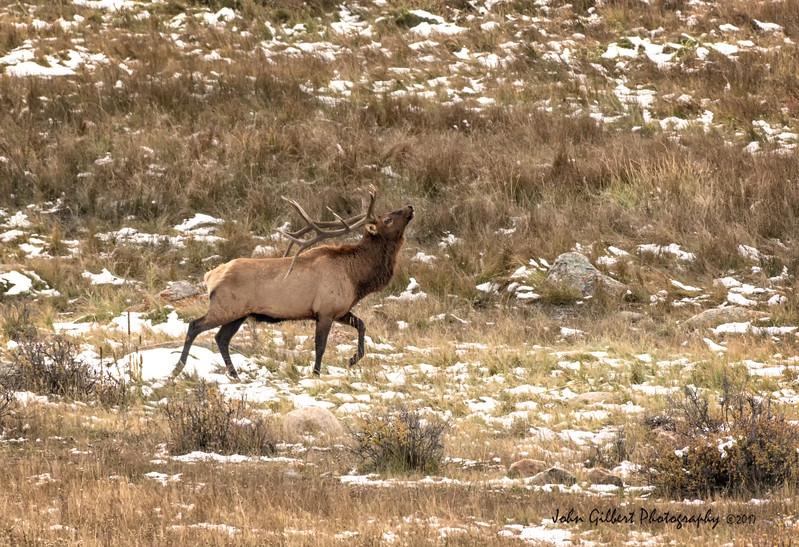 Elk Bull #2