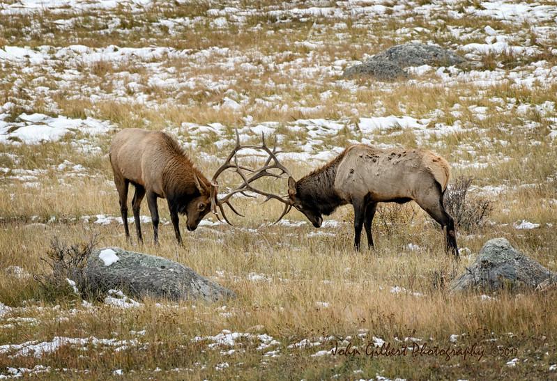 Sparring Elk #2