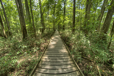 View of towering trees along the Boardwalk Trail at Congaree National Park in Hopkins, SC on Saturday, July 25, 2015. Copyright 2015 Jason Barnette