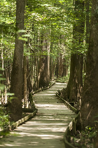 The long and winding Boardwalk Trail at Congaree National Park in Hopkins, SC on Saturday, July 25, 2015. Copyright 2015 Jason Barnette