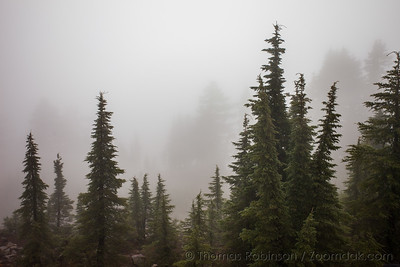 Trees in the Mist at Crater Lake
