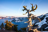 Crater Lake Gnarled Tree at Sunset