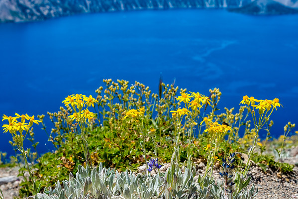 Crater Lake Flowers - Crater Lake-3