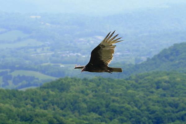 A turkey vulture, one of the many that lives along the ridge of the mountains, flies near the scenic overlook at Cumberland Gap National Historical Park in Middlesboro, KY on Saturday, May 9, 2015. Copyright 2015 Jason Barnette