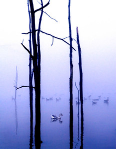 Geese in the Fog