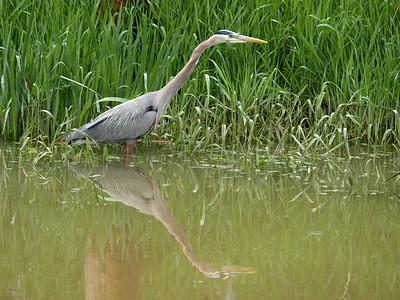 Canal Heron