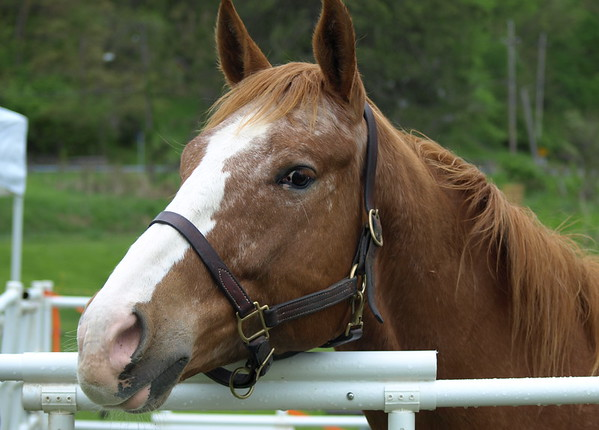 Towpath Horse