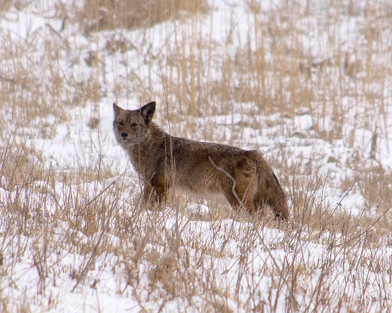 Cold Coyote