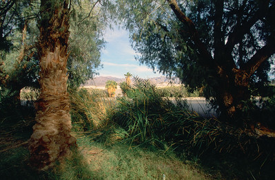 Date Palms at Furnace Creek Visitor Center