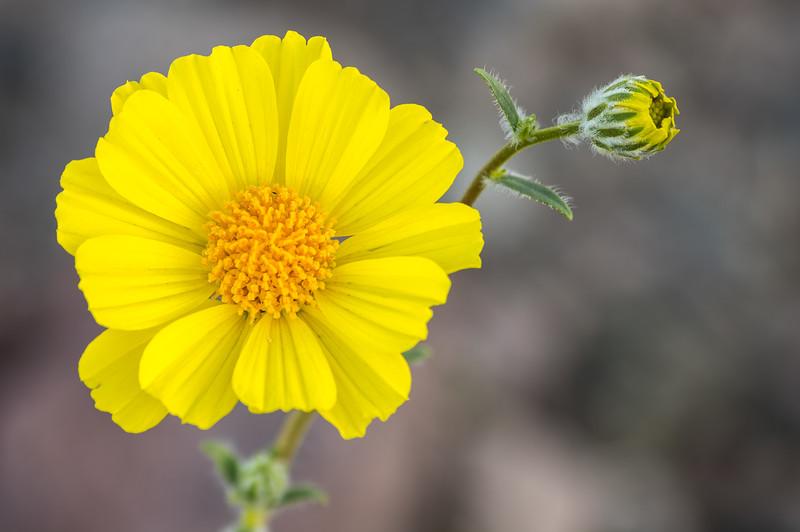 Desert Gold, Flower and Bud