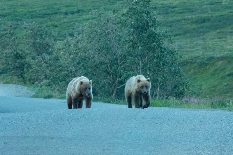 Grizzly Traffic