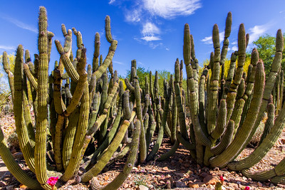 Many Cactus Arms