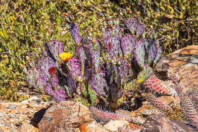 Purple Prickly Pear and A Yellow Flower