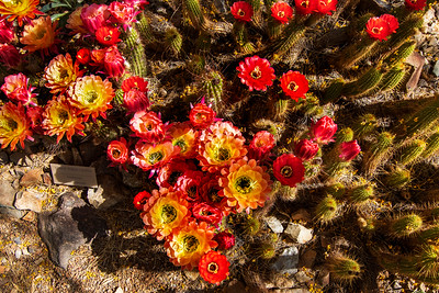 The Hybrid Torch Cactus Flowers