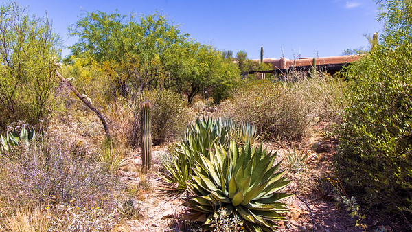 Yucca vs Saguaro