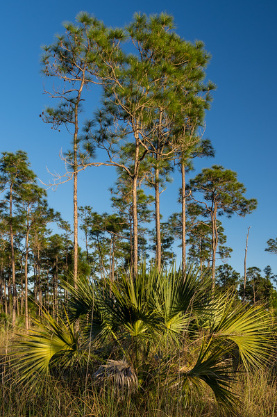 Pines and Palmetto