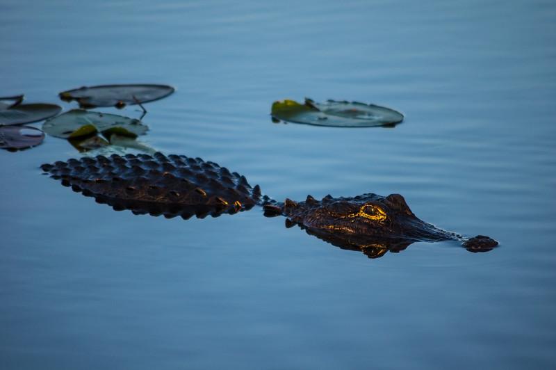 Alligator and  Last Light