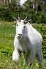 Glacier Nat'l Park - Rocky Mountain goat -0044 - 72 ppi
