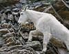 Glacier Nat'l Park - Rocky Mountain goat -0154 - 72 ppi