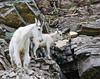 Glacier Nat'l Park - Rocky Mountain goat -0151 - 72 ppi