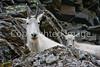 Glacier Nat'l Park - Rocky Mountain goat -0143 - 72 ppi