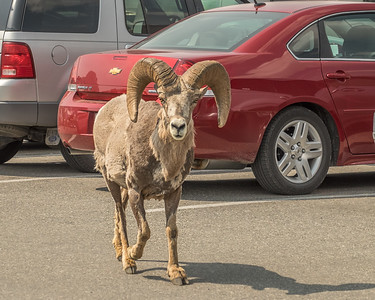 Glacier National Park, Bighorn Sheep
