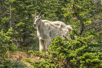 Glacier National Park, Mountain Goats