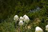 Beargrass (xerophyllum tenax), a member of the Lily Family