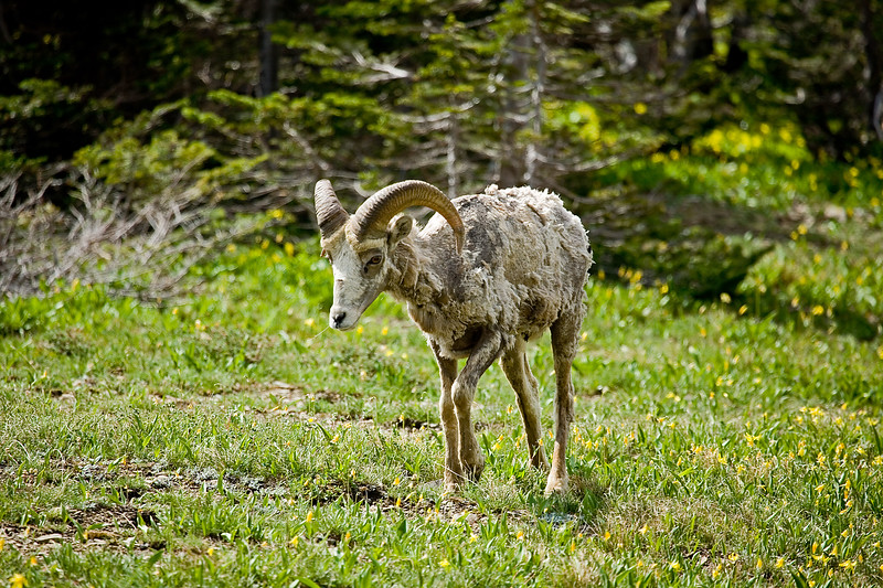 Young bighorn sheep molting his winter coat