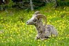 Juvenile Bighorn in the Lilies